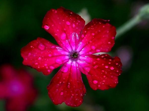 Rose Campion (Lychnis Coronaria) https://www.sagebud.com/rose-campion-lychnis-coronaria