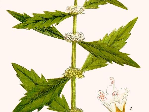 Image result for Gypsywort Herb