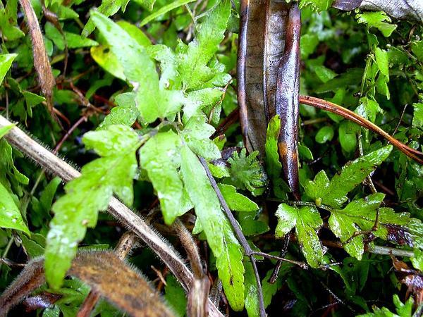 Climbing Fern (Lygodium) https://www.sagebud.com/climbing-fern-lygodium