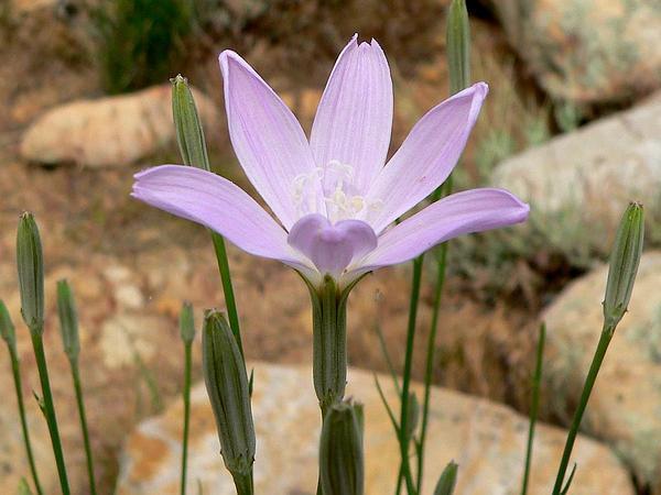 Largeflower Skeletonplant (Lygodesmia Grandiflora) https://www.sagebud.com/largeflower-skeletonplant-lygodesmia-grandiflora/