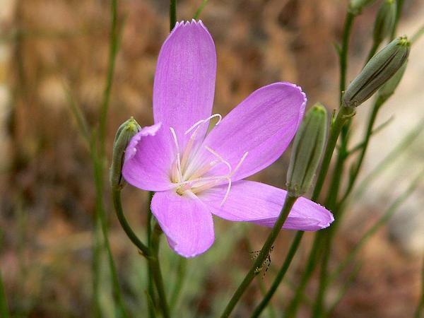 Largeflower Skeletonplant (Lygodesmia Grandiflora) https://www.sagebud.com/largeflower-skeletonplant-lygodesmia-grandiflora