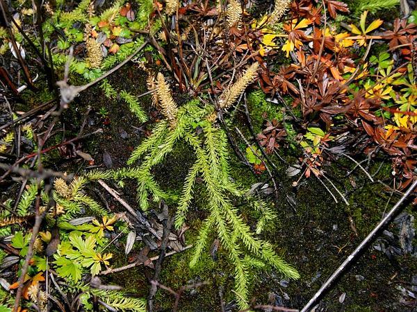 Inundated Clubmoss (Lycopodiella Inundata) https://www.sagebud.com/inundated-clubmoss-lycopodiella-inundata