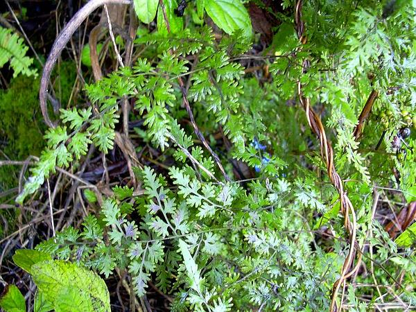 Japanese Climbing Fern (Lygodium Japonicum) https://www.sagebud.com/japanese-climbing-fern-lygodium-japonicum/
