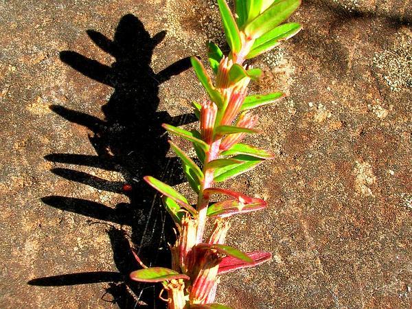 Pukamole (Lythrum Maritimum) https://www.sagebud.com/pukamole-lythrum-maritimum/