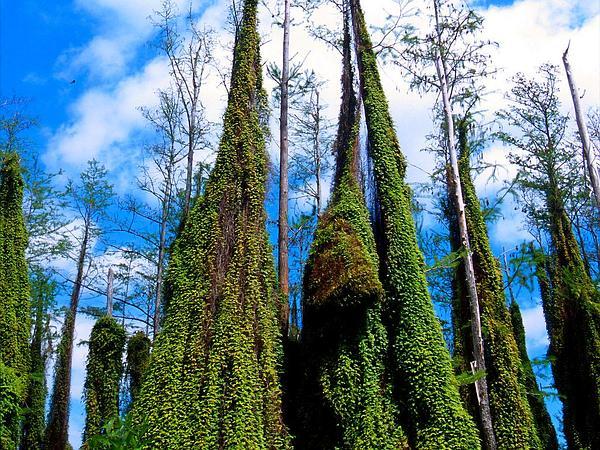 Small-Leaf Climbing Fern (Lygodium Microphyllum) https://www.sagebud.com/small-leaf-climbing-fern-lygodium-microphyllum