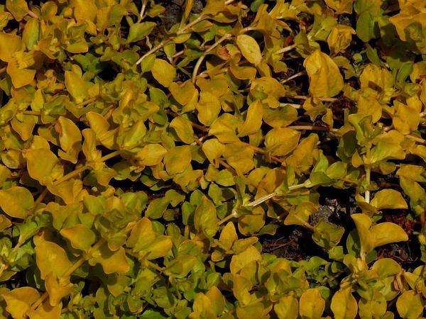 Creeping Jenny (Lysimachia Nummularia) https://www.sagebud.com/creeping-jenny-lysimachia-nummularia