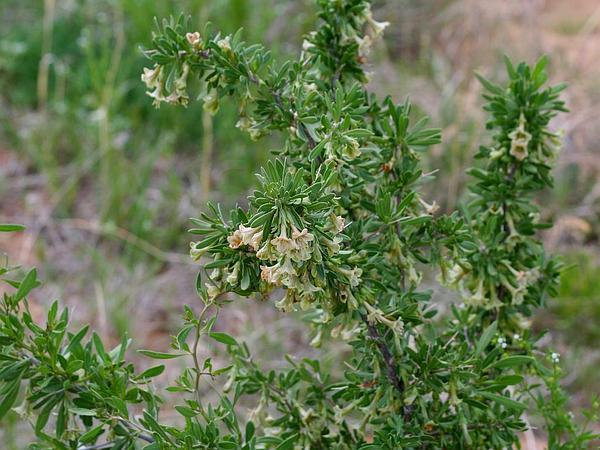 Pale Desert-Thorn (Lycium Pallidum) https://www.sagebud.com/pale-desert-thorn-lycium-pallidum