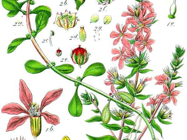 Spatulaleaf Loosestrife (Lythrum Portula) https://www.sagebud.com/spatulaleaf-loosestrife-lythrum-portula