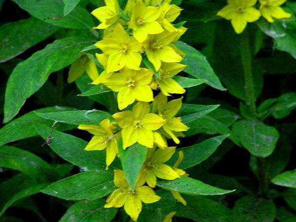 Large Yellow Loosestrife (Lysimachia Punctata) https://www.sagebud.com/large-yellow-loosestrife-lysimachia-punctata/