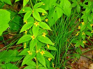 Whorled Yellow Loosestrife