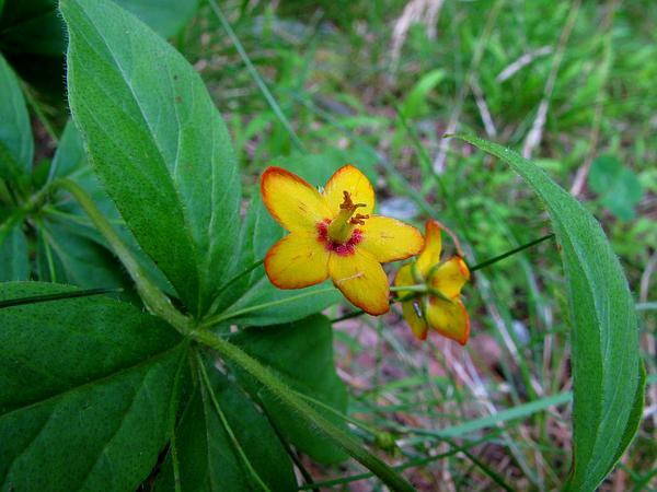 Whorled Yellow Loosestrife (Lysimachia Quadrifolia) https://www.sagebud.com/whorled-yellow-loosestrife-lysimachia-quadrifolia