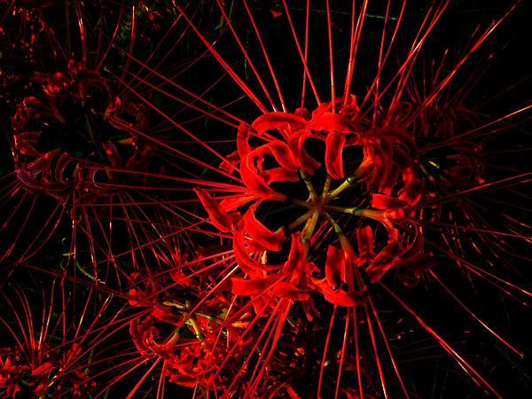 Red Spider Lily (Lycoris Radiata) https://www.sagebud.com/red-spider-lily-lycoris-radiata