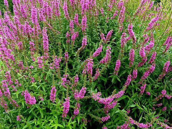Purple Loosestrife (Lythrum Salicaria) https://www.sagebud.com/purple-loosestrife-lythrum-salicaria