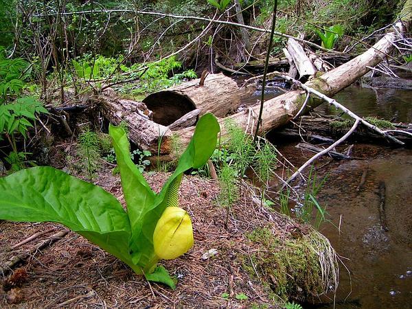 Skunkcabbage (Lysichiton) https://www.sagebud.com/skunkcabbage-lysichiton
