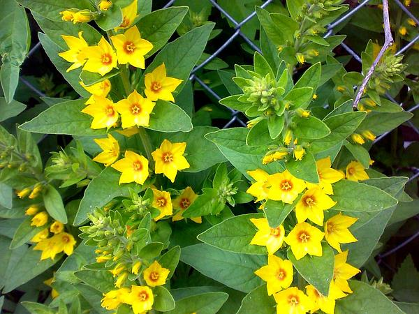 Yellow Loosestrife (Lysimachia) https://www.sagebud.com/yellow-loosestrife-lysimachia