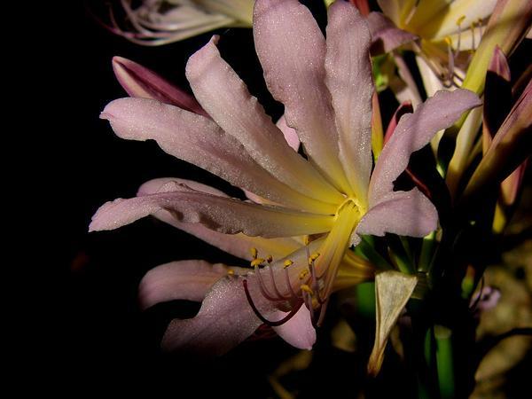 Resurrection Lily (Lycoris Squamigera) https://www.sagebud.com/resurrection-lily-lycoris-squamigera