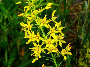 Earth Loosestrife