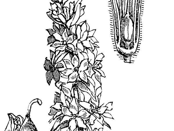 Loosestrife (Lythrum) https://www.sagebud.com/loosestrife-lythrum