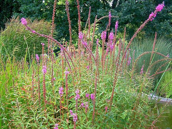 European Wand Loosestrife (Lythrum Virgatum) https://www.sagebud.com/european-wand-loosestrife-lythrum-virgatum