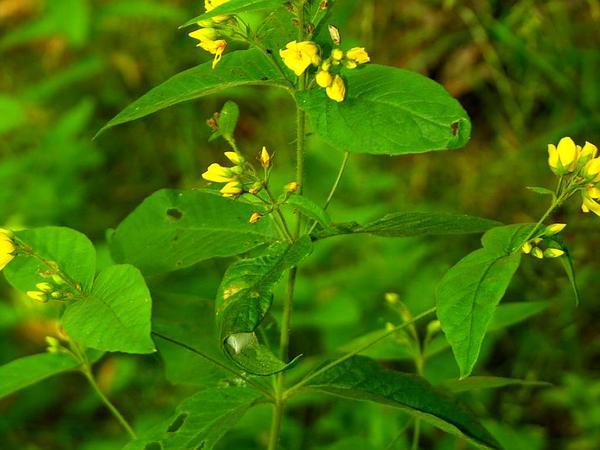 Garden Yellow Loosestrife (Lysimachia Vulgaris) https://www.sagebud.com/garden-yellow-loosestrife-lysimachia-vulgaris