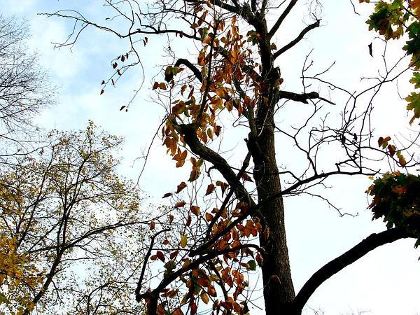 Cucumber-Tree (Magnolia Acuminata) https://www.sagebud.com/cucumber-tree-magnolia-acuminata