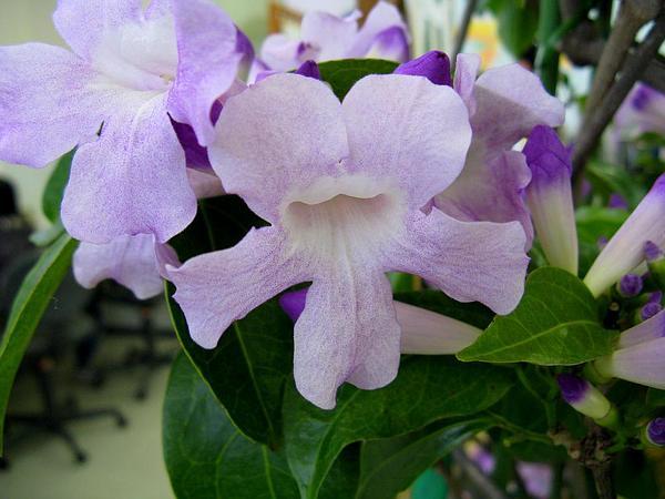 Garlicvine (Mansoa Alliacea) https://www.sagebud.com/garlicvine-mansoa-alliacea