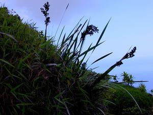 Polynesian Twigrush