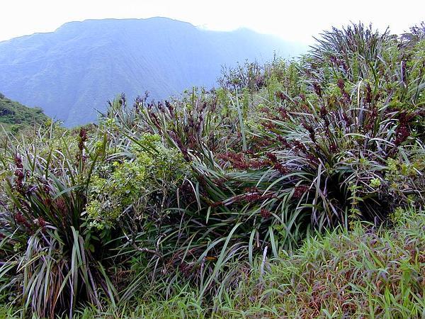 Polynesian Twigrush (Machaerina Angustifolia) https://www.sagebud.com/polynesian-twigrush-machaerina-angustifolia