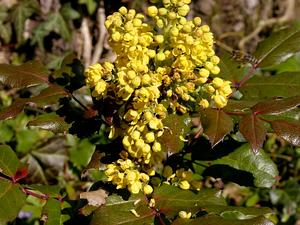 Hollyleaved Barberry