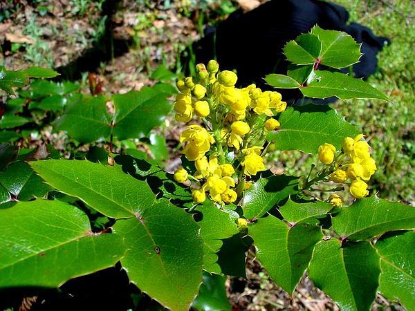 Hollyleaved Barberry (Mahonia Aquifolium) https://www.sagebud.com/hollyleaved-barberry-mahonia-aquifolium