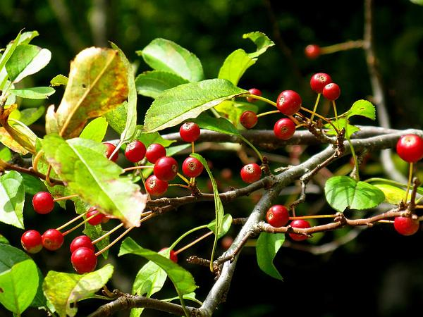 Siberian Crab Apple (Malus Baccata) https://www.sagebud.com/siberian-crab-apple-malus-baccata