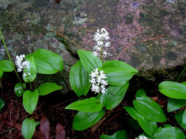 Canada Mayflower (Maianthemum Canadense) https://www.sagebud.com/canada-mayflower-maianthemum-canadense
