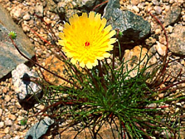 California Desertdandelion (Malacothrix Californica) https://www.sagebud.com/california-desertdandelion-malacothrix-californica