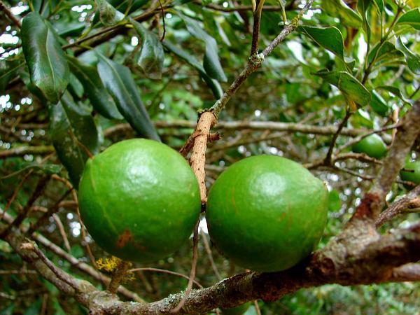 Macadamia (Macadamia) https://www.sagebud.com/macadamia-macadamia/