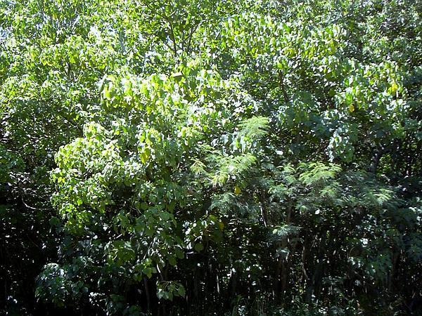 Macaranga (Macaranga) https://www.sagebud.com/macaranga-macaranga/