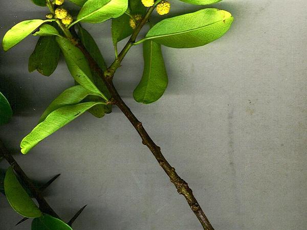 Maclura (Maclura) https://www.sagebud.com/maclura-maclura