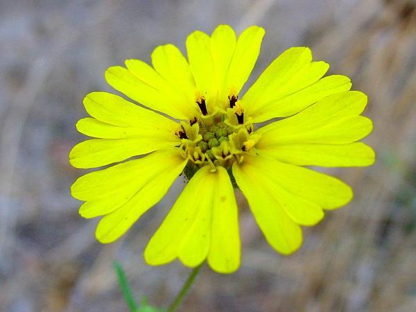Common Madia (Madia Elegans) https://www.sagebud.com/common-madia-madia-elegans/
