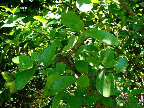 Barbados Cherry (Malpighia Emarginata) https://www.sagebud.com/barbados-cherry-malpighia-emarginata