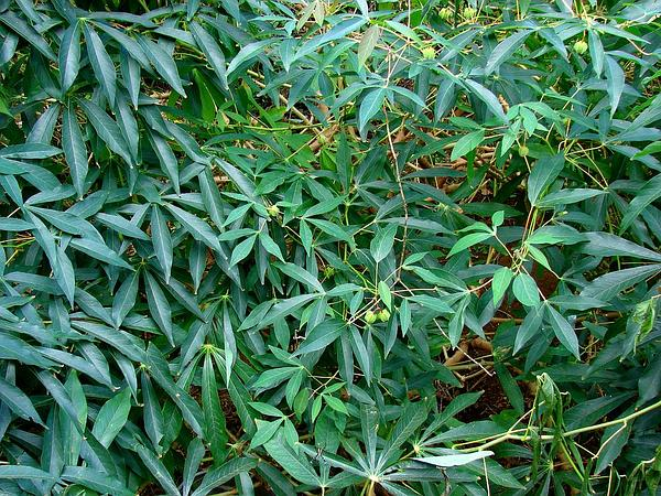 Cassava (Manihot Esculenta) https://www.sagebud.com/cassava-manihot-esculenta/