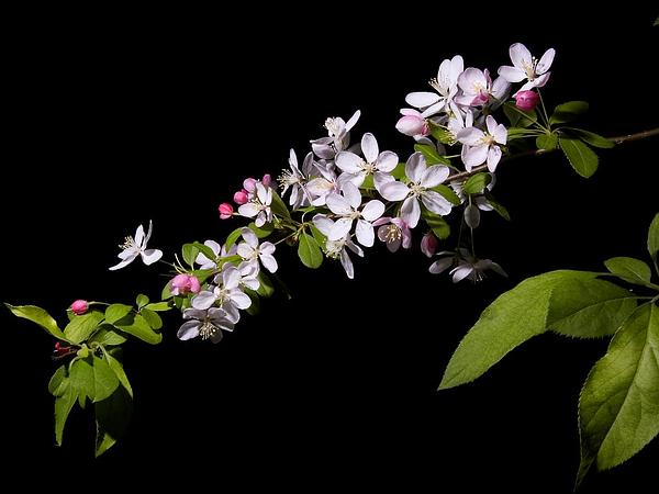 Japanese Flowering Crab Apple (Malus Floribunda) https://www.sagebud.com/japanese-flowering-crab-apple-malus-floribunda
