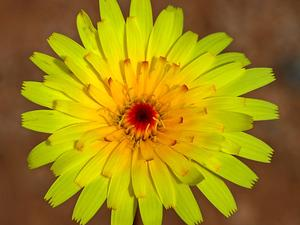 Smooth Desertdandelion