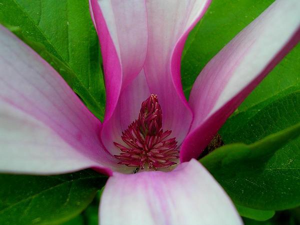 Magnolia (Magnolia) https://www.sagebud.com/magnolia-magnolia