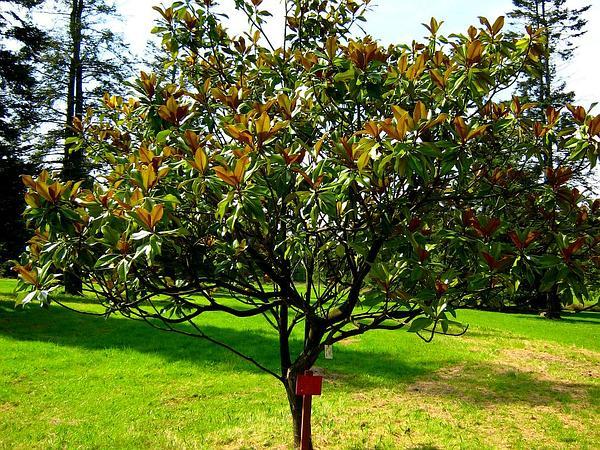 Southern Magnolia (Magnolia Grandiflora) https://www.sagebud.com/southern-magnolia-magnolia-grandiflora/