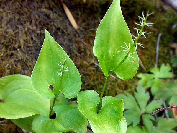 Mayflower (Maianthemum) https://www.sagebud.com/mayflower-maianthemum