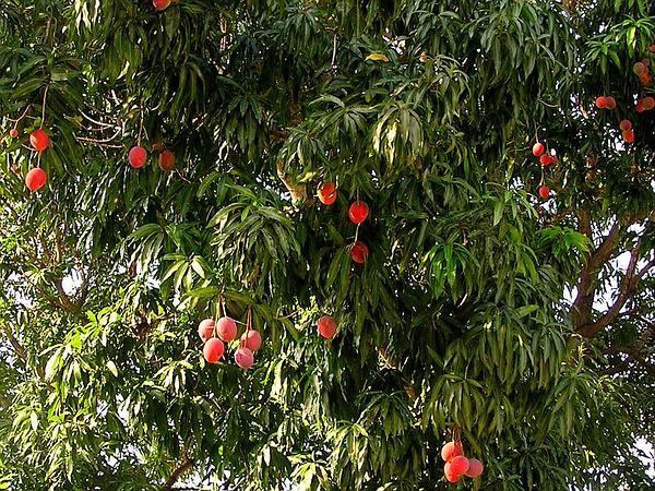 Mango (Mangifera Indica) https://www.sagebud.com/mango-mangifera-indica