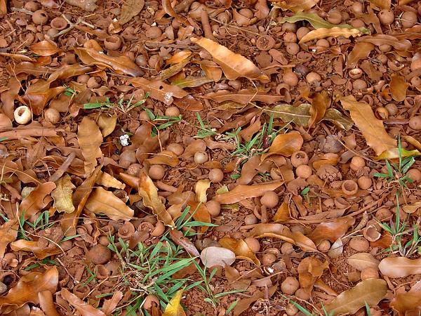 Macadamia Nut (Macadamia Integrifolia) https://www.sagebud.com/macadamia-nut-macadamia-integrifolia