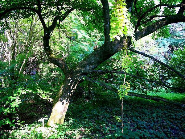 Kobus Magnolia (Magnolia Kobus) https://www.sagebud.com/kobus-magnolia-magnolia-kobus