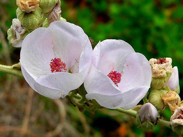 Bushmallow (Malacothamnus) https://www.sagebud.com/bushmallow-malacothamnus