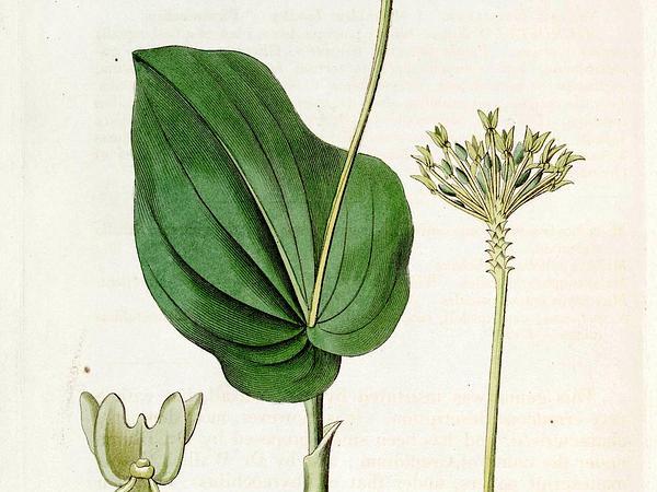 Adder's-Mouth Orchid (Malaxis) https://www.sagebud.com/adders-mouth-orchid-malaxis/
