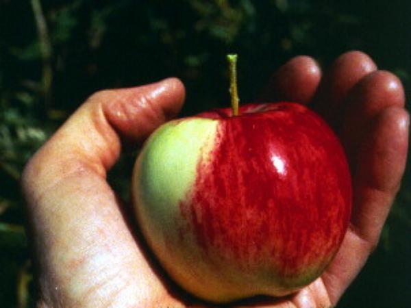 Apple (Malus) https://www.sagebud.com/apple-malus